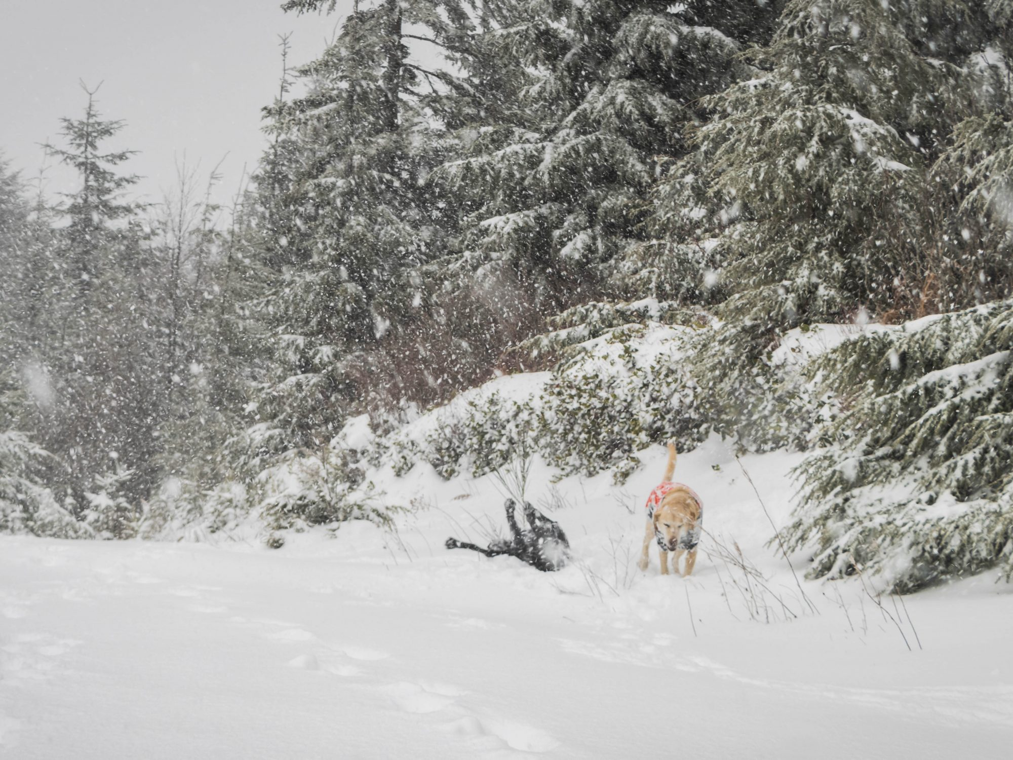 Summit dogs on West Tiger Mountain 1